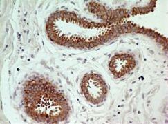 pro-Caspase 3 Antibody (MA1-91636)