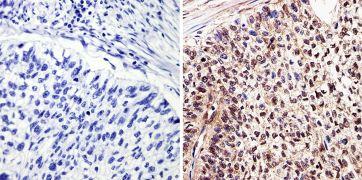 c-Myc Tag Antibody (MA1-980-1MG)