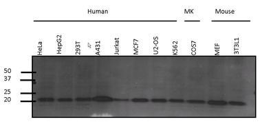Pan Ras Antibody (MA1-012)
