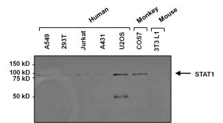 STAT1 Antibody (MA1-037X)