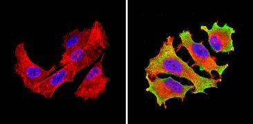 eIF1 Antibody (MA1-077)