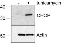 CHOP Antibody (MA1-250)