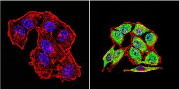 HSP70 Antibody (MA3-008)