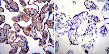 HSP90 alpha Antibody (MA3-011)