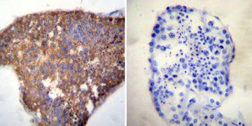 HSC70 Antibody (MA3-014)
