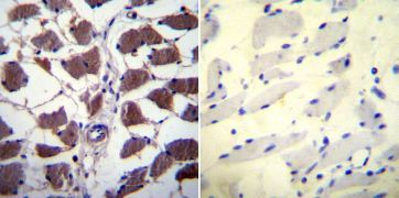 NFATC1 Antibody (MA3-024)
