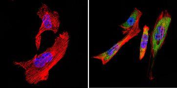 TCP1 Antibody (MA3-026)