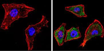 CYP1A1/CYP1A2 Antibody (MA3-036)