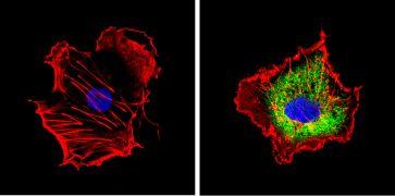 CYP1A2 Antibody (MA3-037)