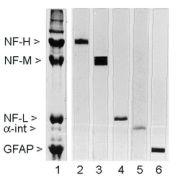 NEFH Antibody (MA3-16722)