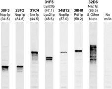 Fibrillarin Antibody (MA3-16771)
