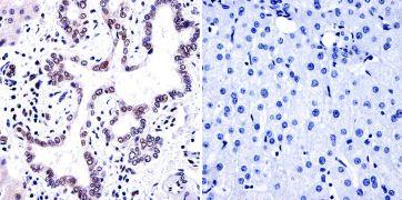 Phosphatidylinositol 4,5-bisphosphate Antibody (MA3-500)