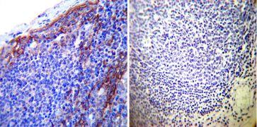 ATP1B1 Antibody (MA3-930)