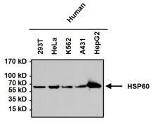 HSP60 Antibody (MA3-012)