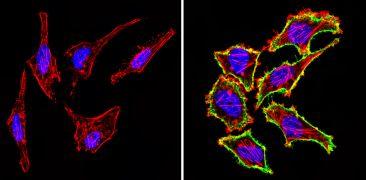 CD44 Antibody (MA4405)