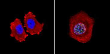Rb Antibody (MA5-11387)