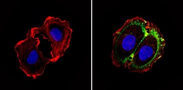 CD24 Antibody (MA5-11833)