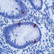 Serotonin Antibody (MA5-12111)