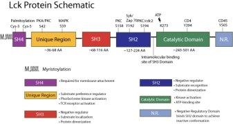 LCK Antibody (MA5-12303) in
