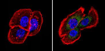 Fibrillin 1 Antibody (MA5-12770)