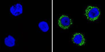 CD35 Antibody (MA5-13122)