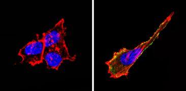 CD155 Antibody (MA5-13493)