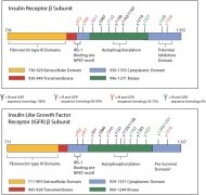 INSR alpha Antibody (MA5-13759) in