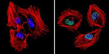 MCM7 Antibody (MA5-14291)