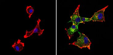 Chromogranin A Antibody (MA5-14536)