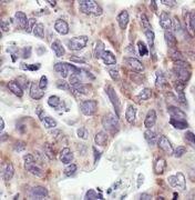 COX4 Antibody (MA5-15078)