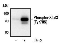 Phospho-STAT3 (Tyr705) Antibody (MA5-15193)