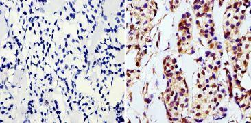 GAPDH Loading Control Antibody (MA5-15738)
