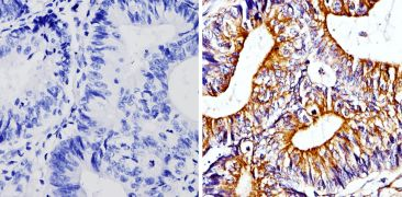 beta Tubulin Loading Control Antibody (MA5-16308-1MG)