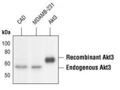 AKT3 Antibody (MA5-16309)