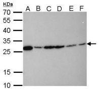 HMGB1 Antibody (MA5-17278)