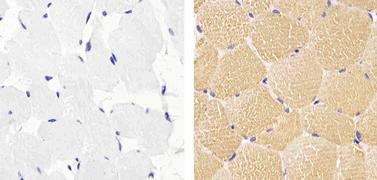 Actin Muscle Antibody (MA5-11874)