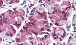 MBOAT4 Antibody (PA5-32916)