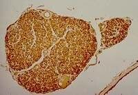 Myelin Antibody (MA1-35712)