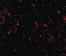 LY96 Antibody (MA5-15765)