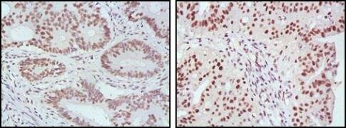 MLH1 Antibody (MA5-15431)
