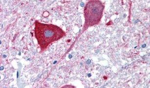 MRGD Antibody (PA5-33942)