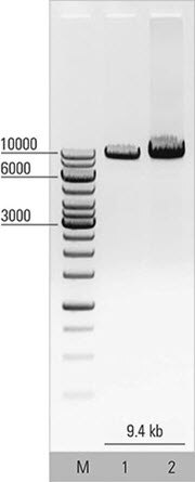 Isolation of intact mRNA