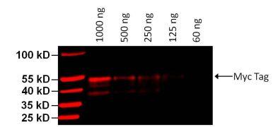 c-Myc Tag Antibody (MA1-21316-D680)