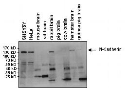 N-cadherin Antibody (MA1-2002)