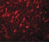 NALP10 Antibody (PA5-21025)