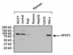 NFATC4 Antibody (PA1-021)