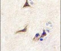 NGF Antibody (PA5-14872)