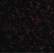 TACR3 Antibody (PA5-20392)