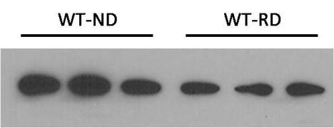 NPC1-Like 1 Antibody (PA1-16801)