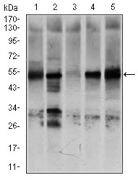 GCNF Antibody (MA5-17140)